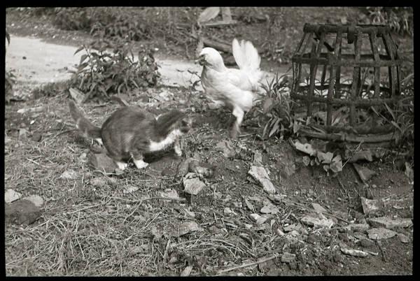 """""""Minouche et les poules"""""""