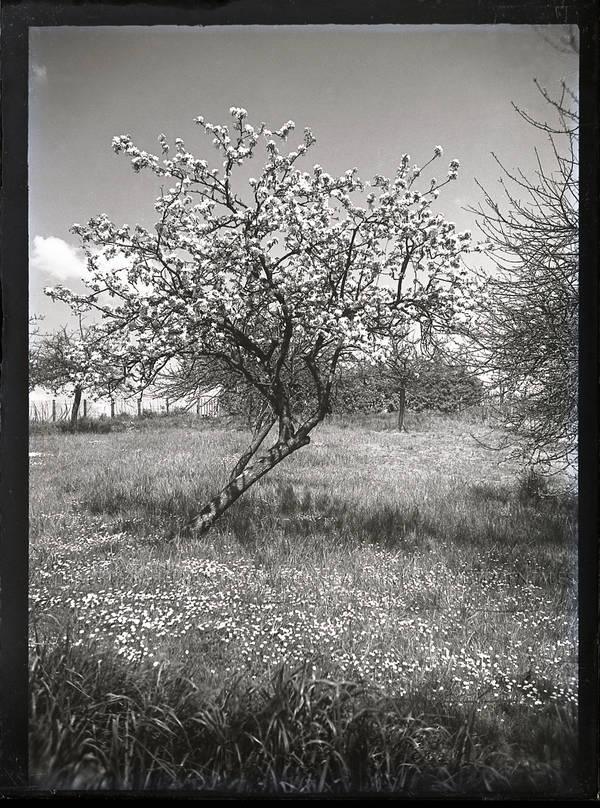 Jeune arbre en fleurs